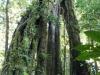 Riesen-Wurzeln im tropischen Regenwald